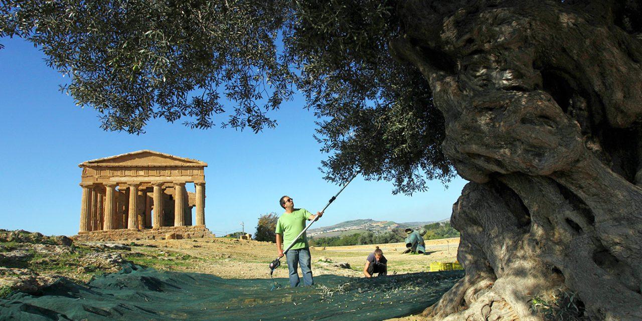 La raccolta alla Valle dei Templi di Agrigento