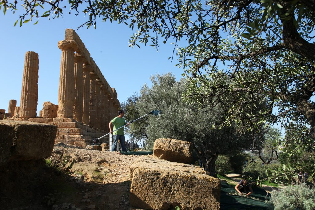 La raccolta delle olive nella Valle dei templi